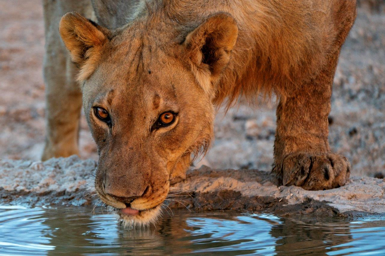 A lion drinking in Namibia