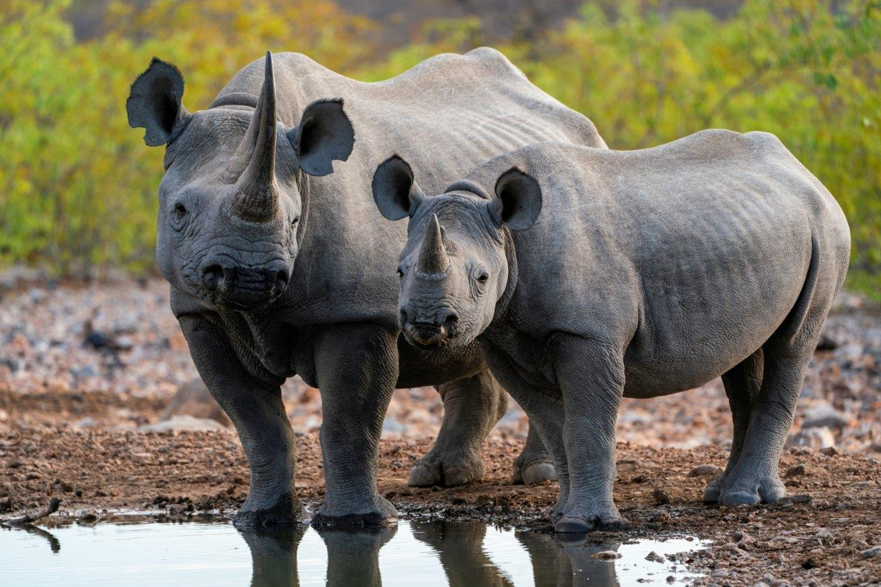 A rhino mother and calf in Namibia
