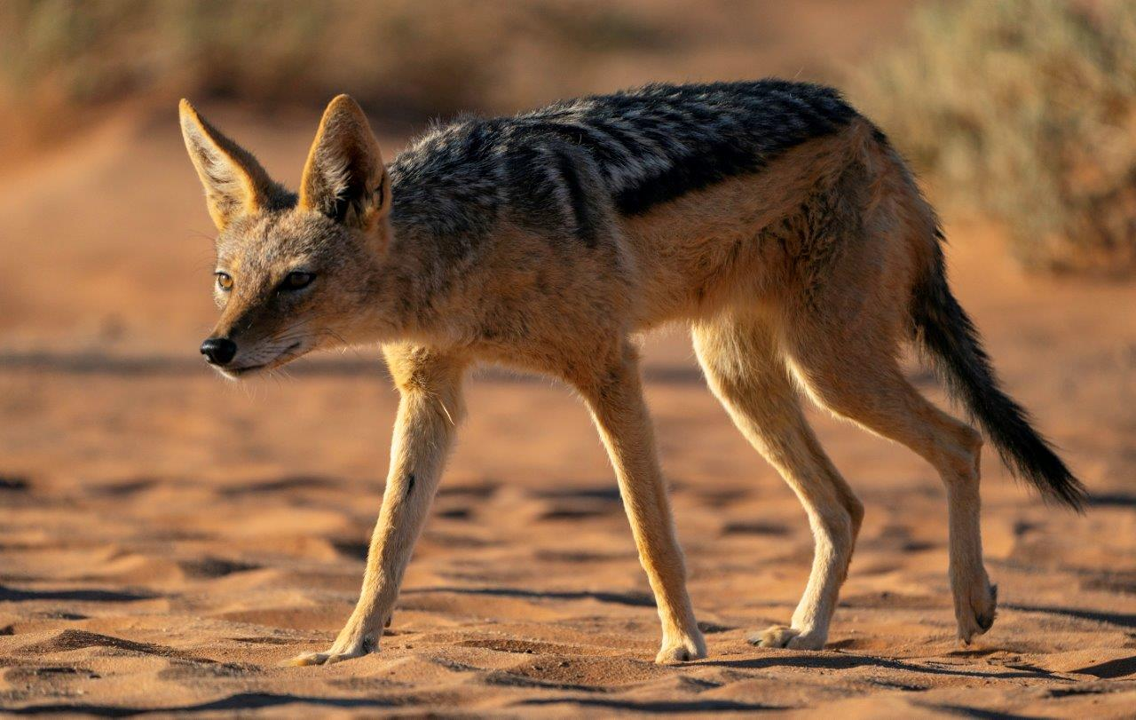 Black-backed jackal in Namibia