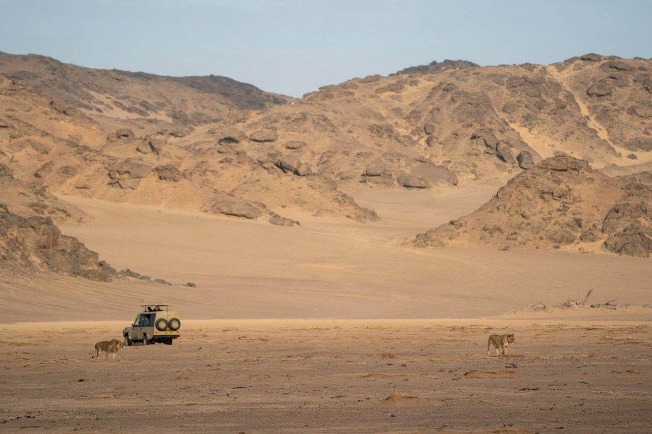 Nat Hab travelers have an intimate look at desert-adapted lions as they prowl past the dunes