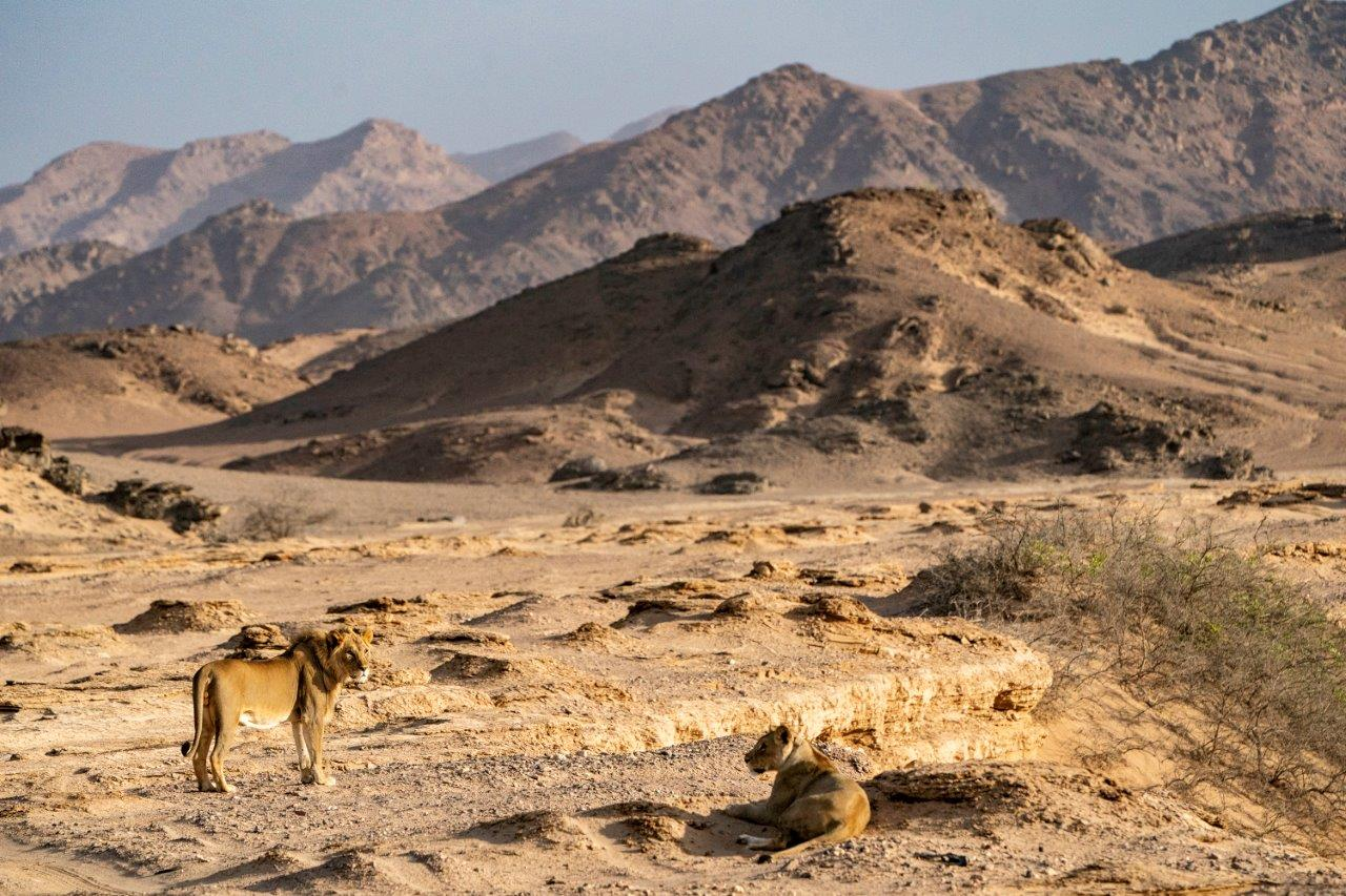 Desert-adapted lions in Namibia