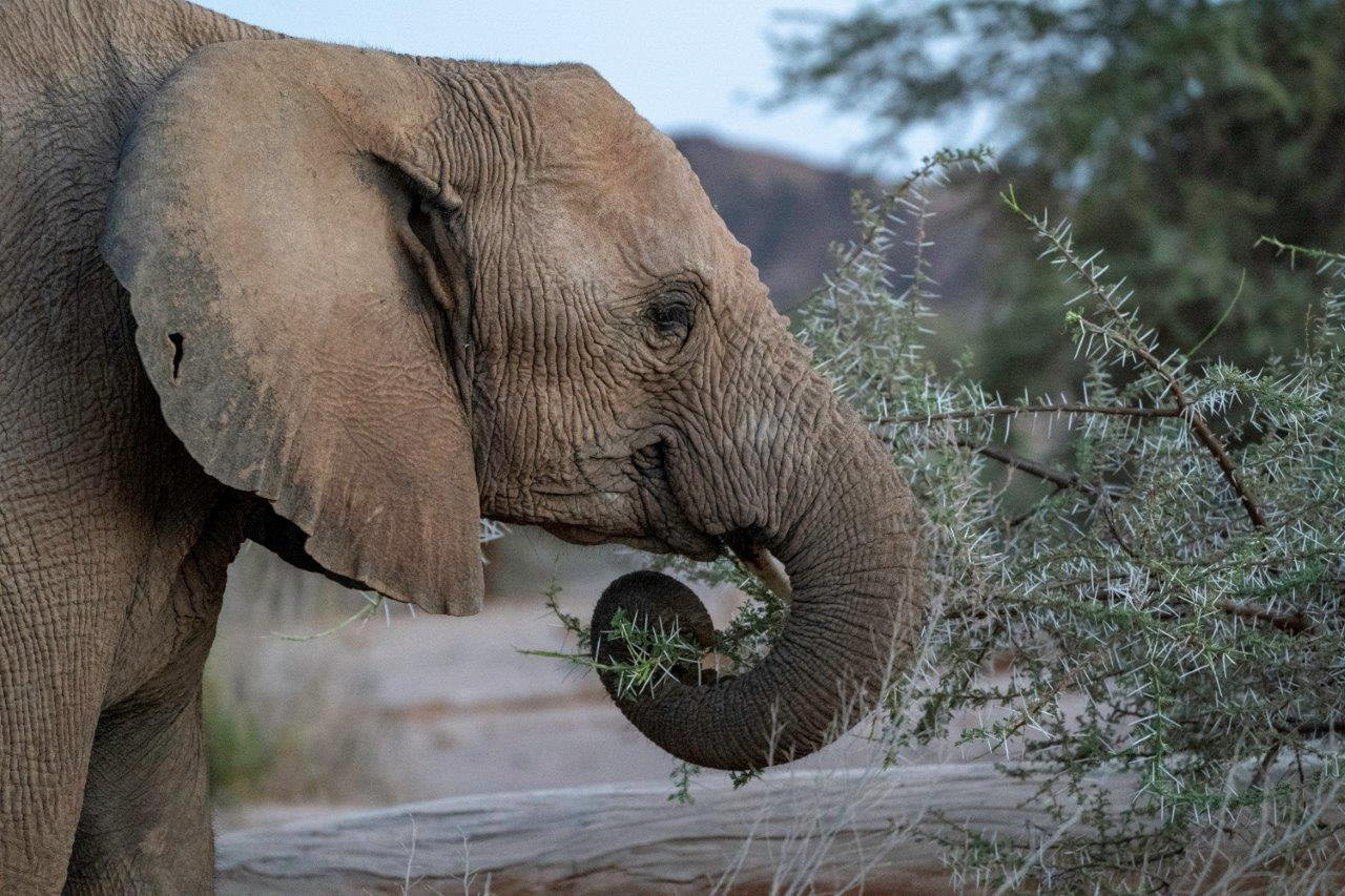 Desert-adapted elephant feeding in Namibia