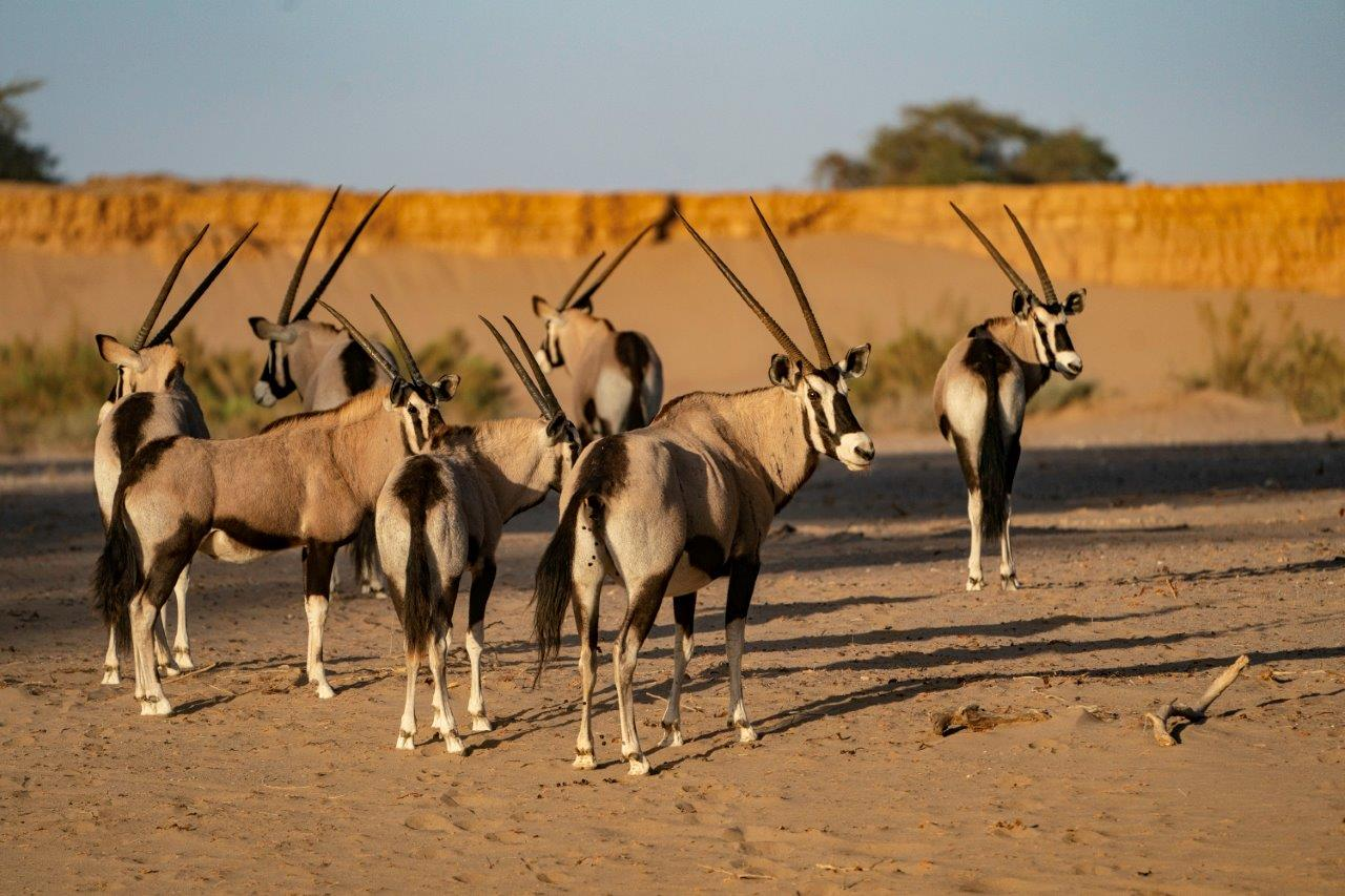 A herd of oryx in Namibia