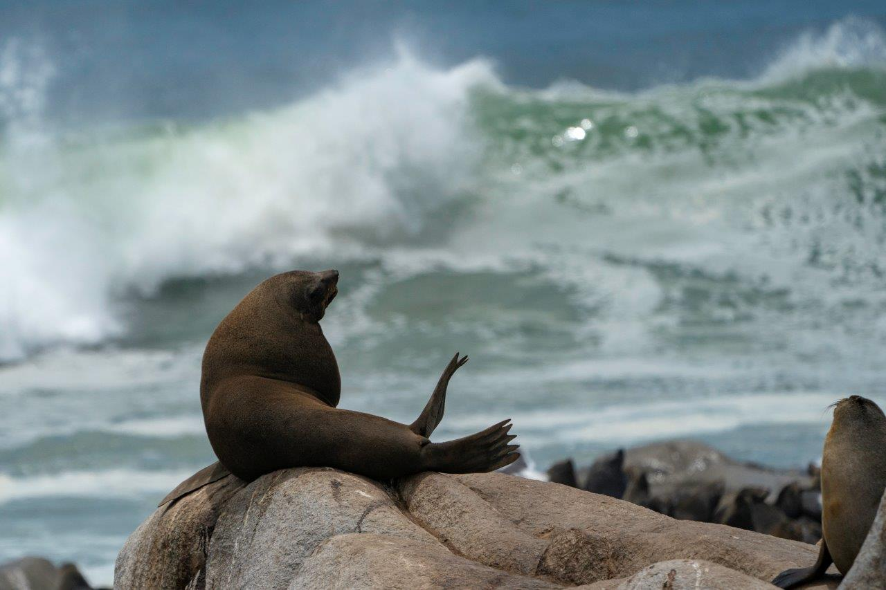 A bull cape fur seal on the Skeleton Coast of Namibia