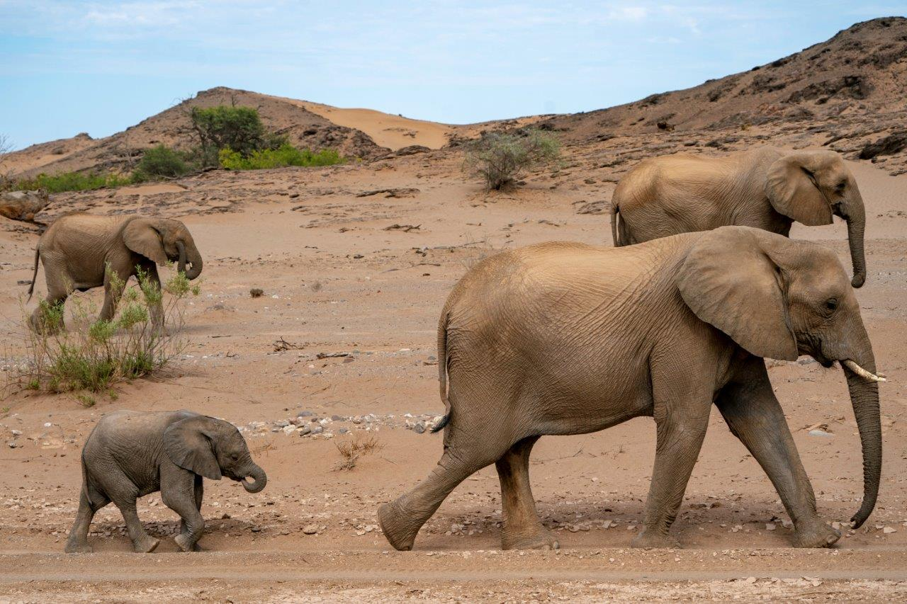 Desert-adapted elephants in Namibia