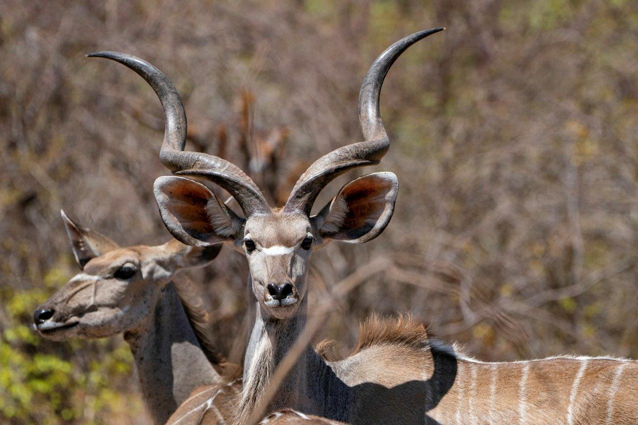 A kudu in Namibia