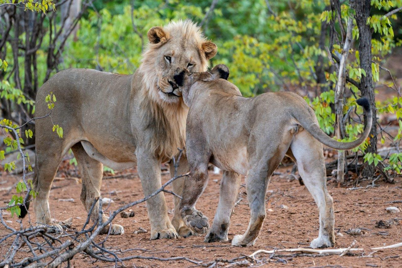 Lions nuzzling in Namibia