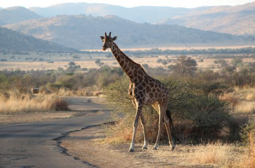 Wildlife Photo of the Week: Giraffe on Safari