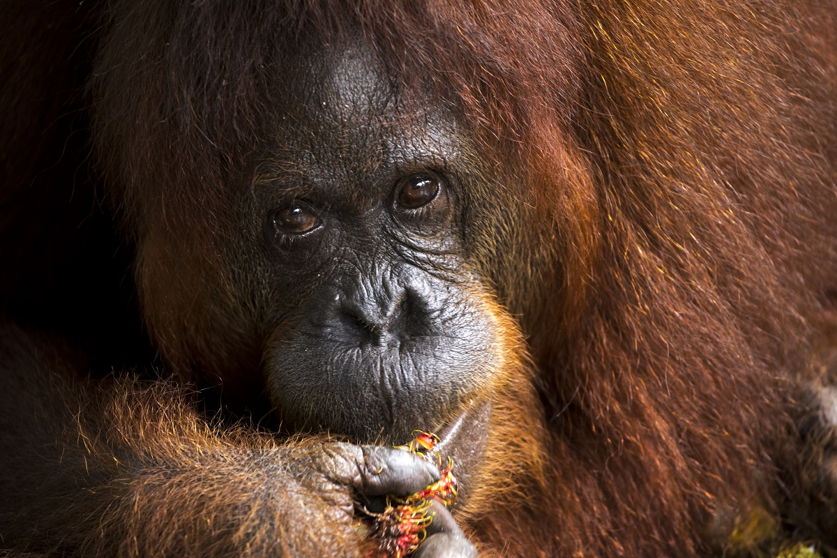 An orangutan bunches on a palm fruit in Borneo.