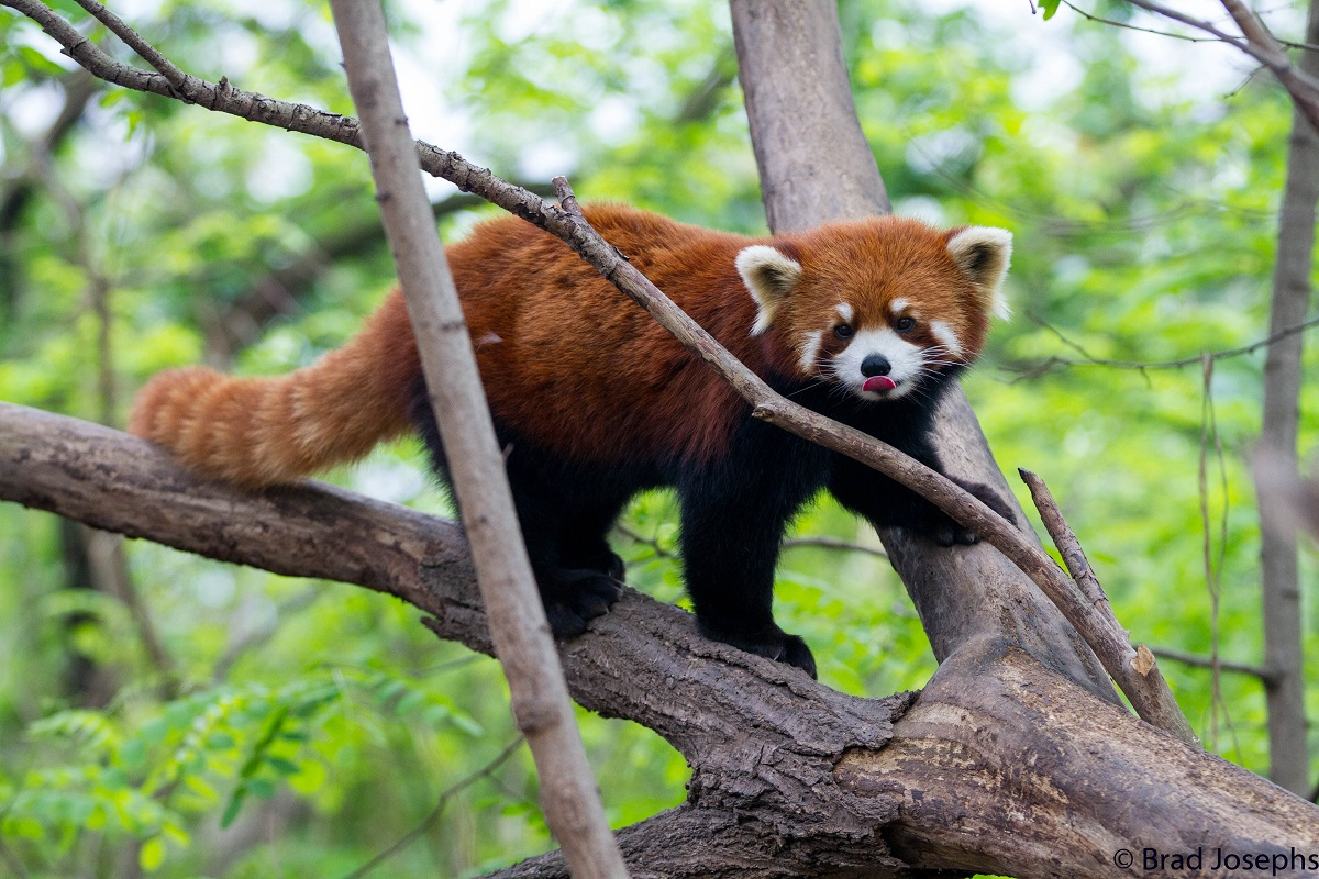 A red panda in China's forests.