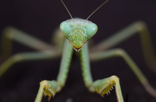 Wildlife Photo of the Week: Mantis