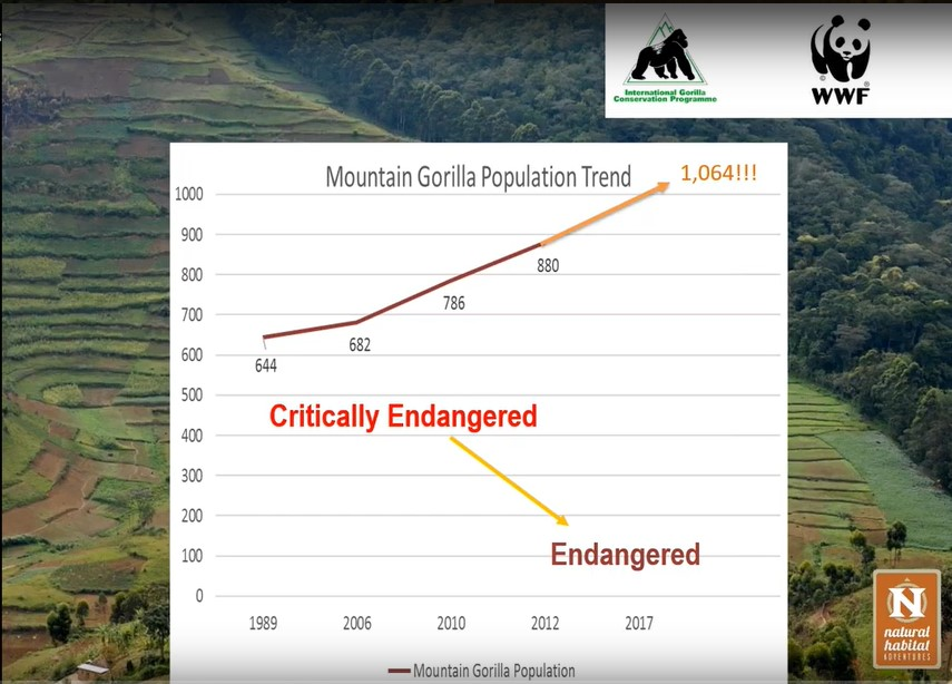 Map of mountain gorilla increase in Africa.