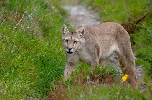 Encountering a Puma in Patagonia