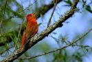 Wildlife Photo of the Week: Summer Tanager Singing Away