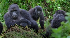 Mountain Gorilla Numbers on the Rise