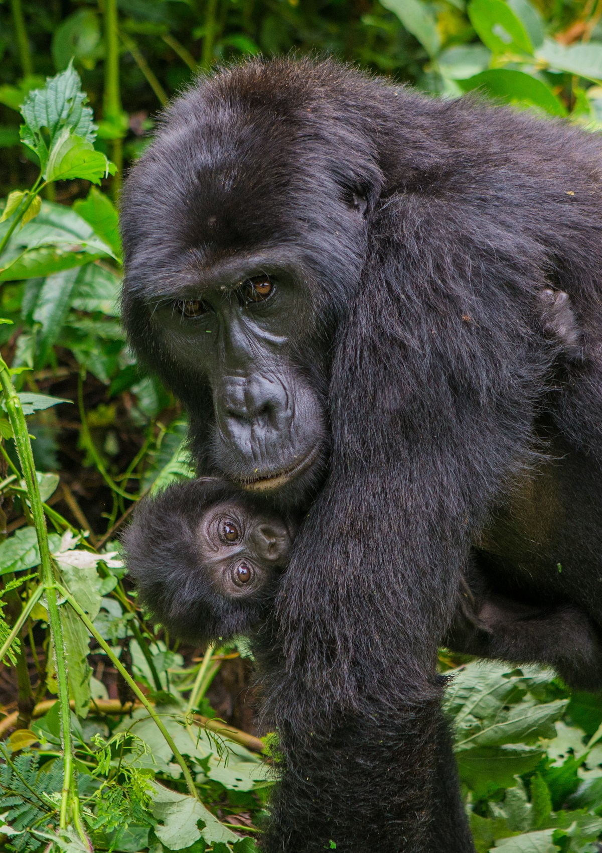 Mountain gorilla with baby in Uganda.