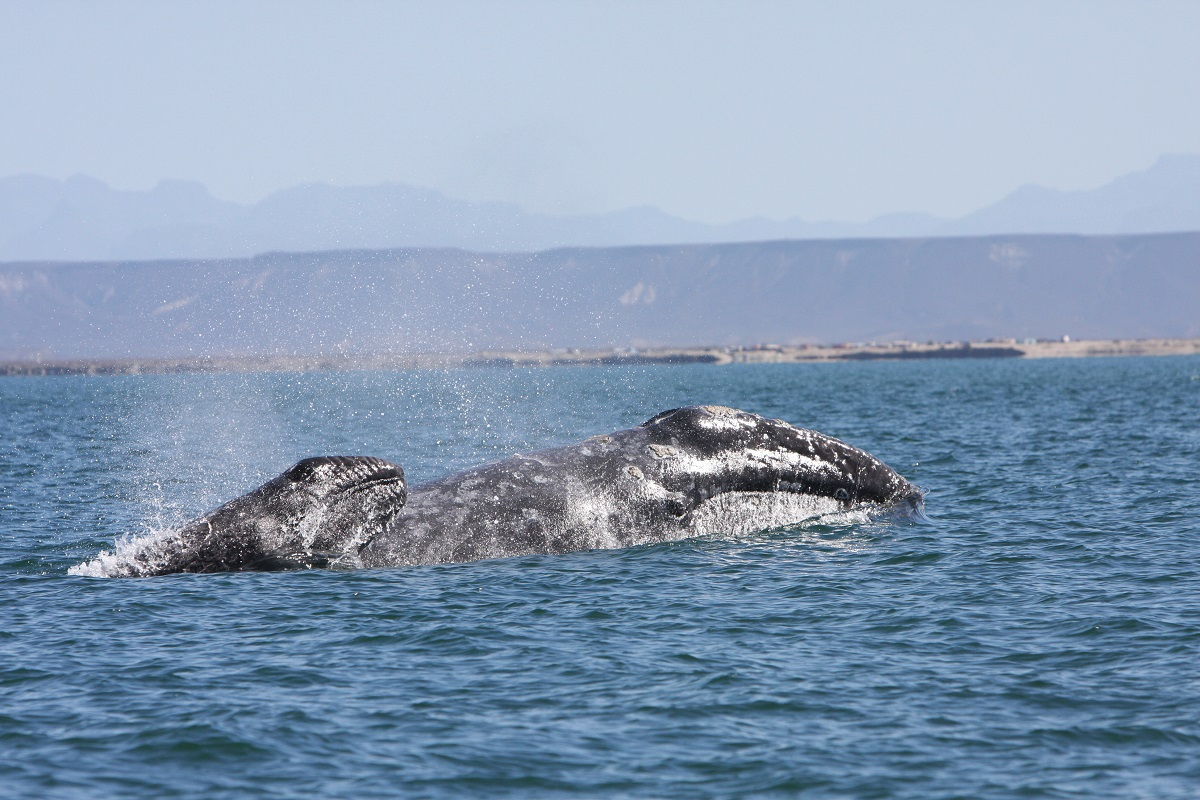 A gray whale with her calf in Baja, Mexico