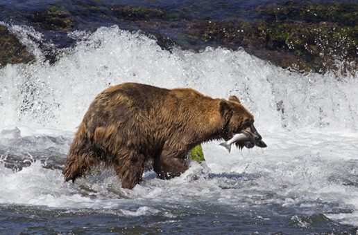 Climate Change Is Affecting Alaska's Salmon—and Its Bears
