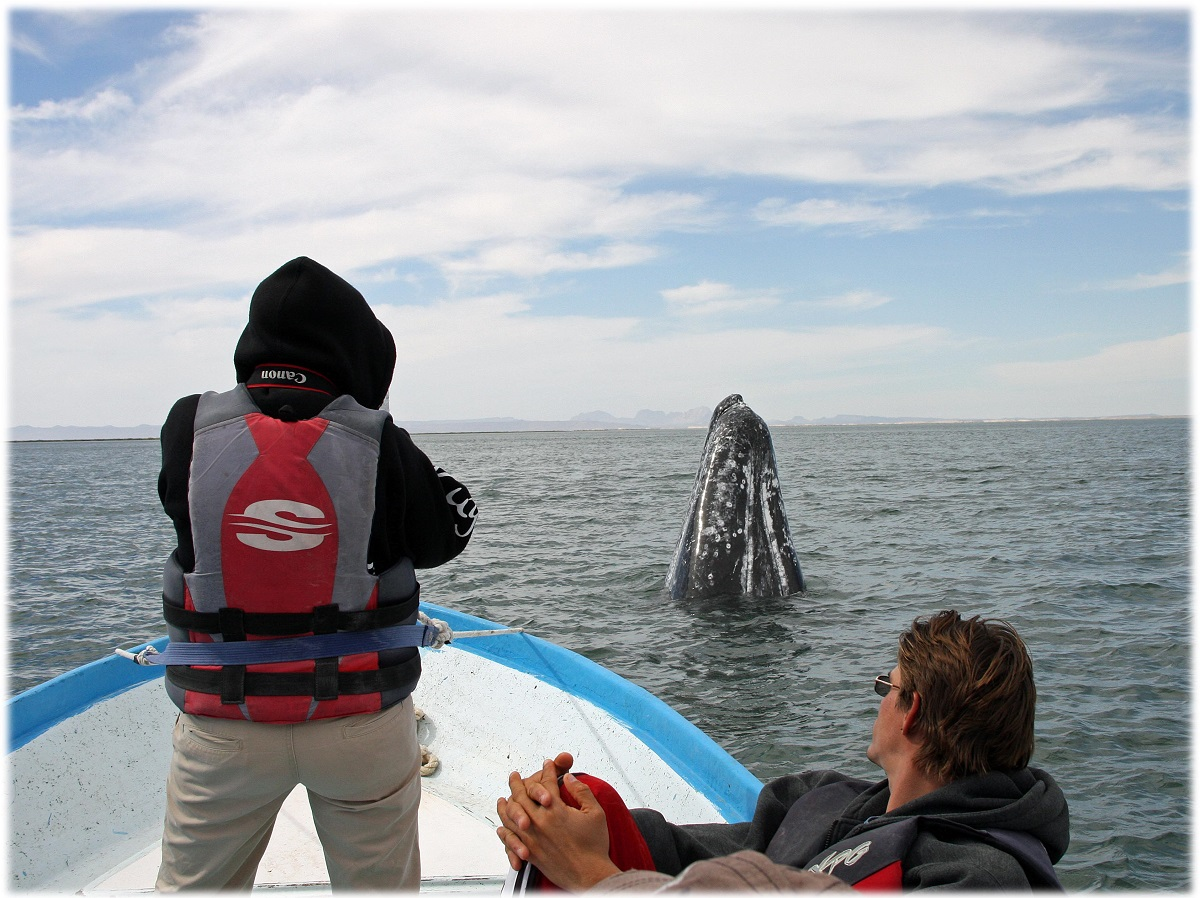 Student researchers observing a gray whale spyhopping.