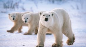 Reduce Your Carbon Footprint for International Polar Bear Day!