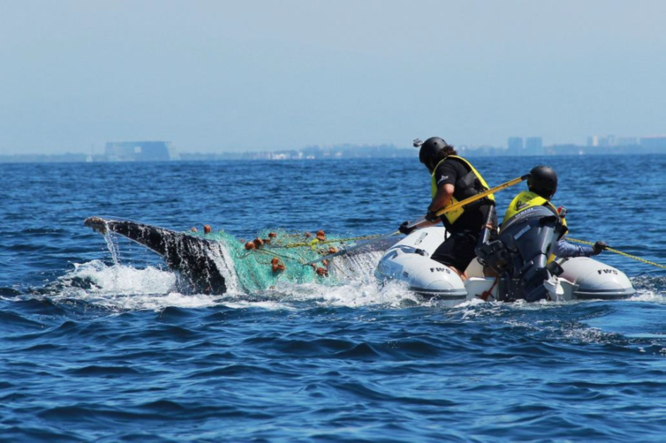RABEN rescuing a whale in Banderas Bay in Mexico