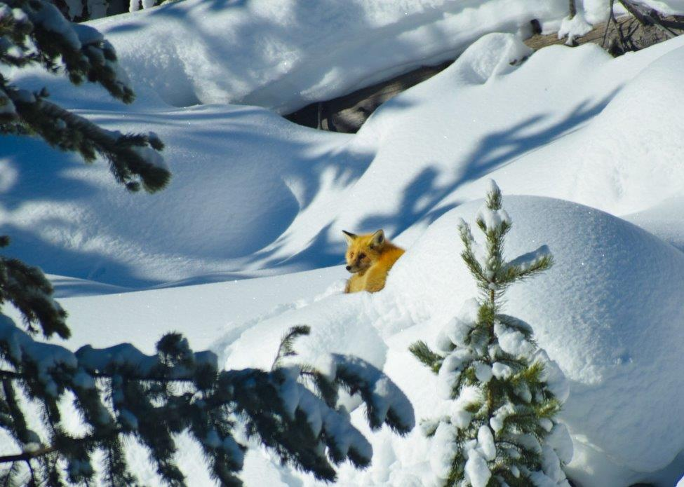 A red fox curled up in the snow.