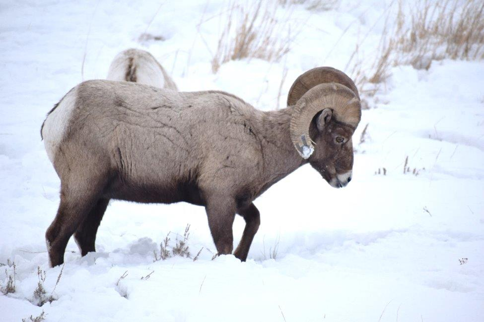 Bighorn sheep in the snow in Yellowstone.