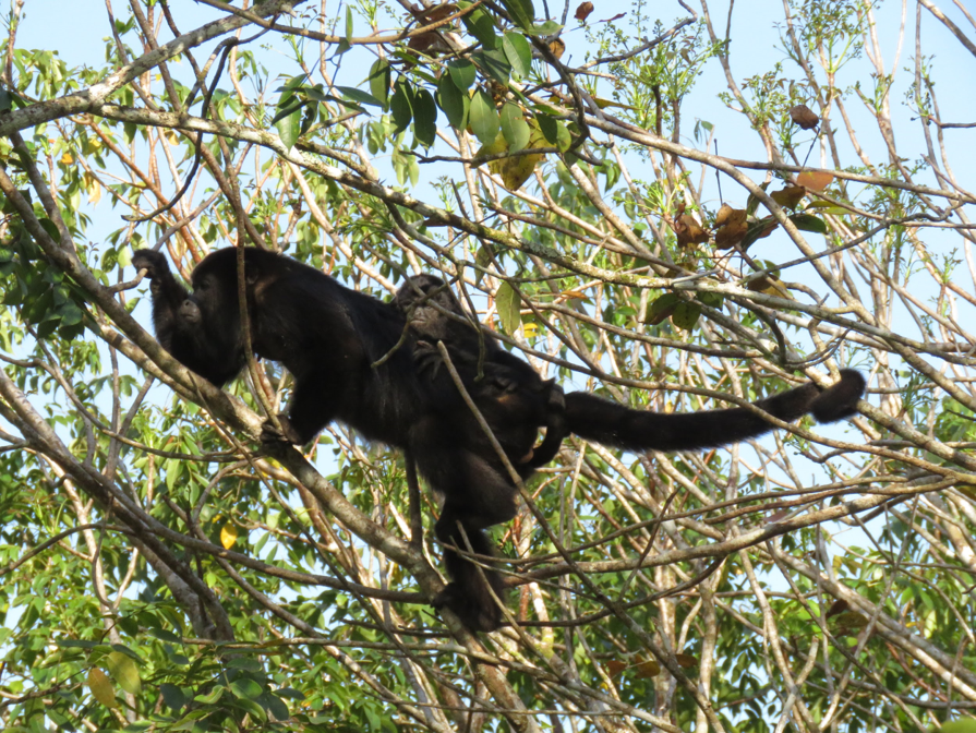 A baby howler monkey clinging to his mother's back as she makes her way through the branches.