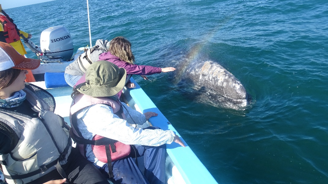 Gray whale encounters on a boat in Baja.
