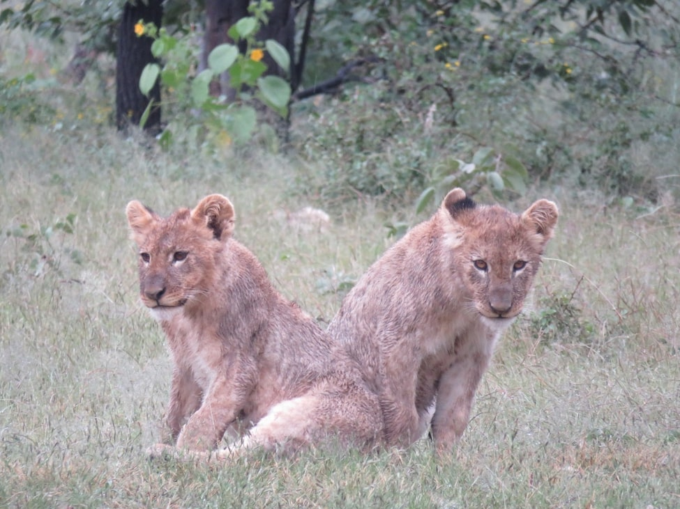 Lion cubs, Ongava Reserve, Namibia