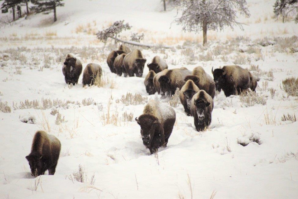 A bison herd in Yellowstone.