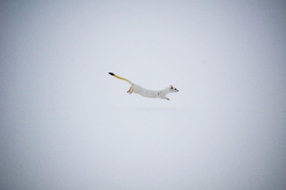 An ermine jumps through the snow in Yellowstone.