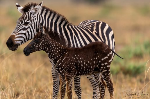 Wildlife Photo of the Week: Tira – The Polka Dotted Zebra