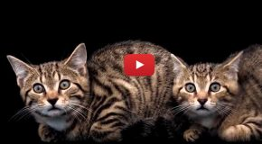 Video: Rewilding Scotland's Highlands with Wildcats