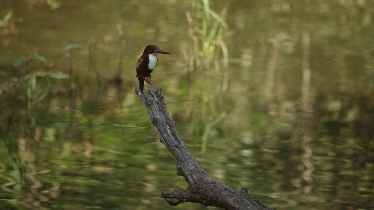 Kingfishers are far from the bottom of the list of birds you'll see in India, a birder's paradise, which you can attest to as the last few days have yielded rare and exotic sightings seemingly every minute.