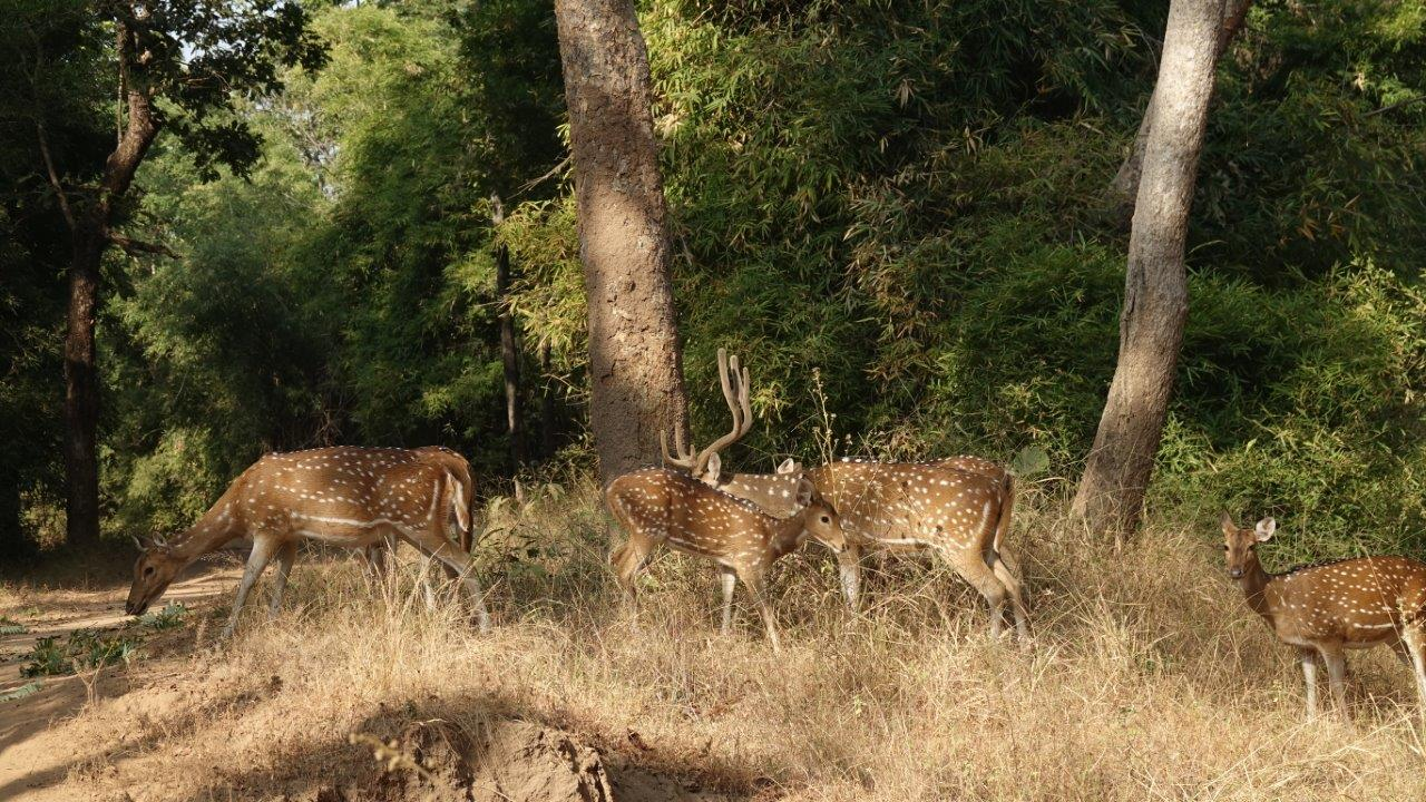 Spotted deer make an alarm call.