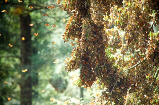 Monarch Populations Decrease