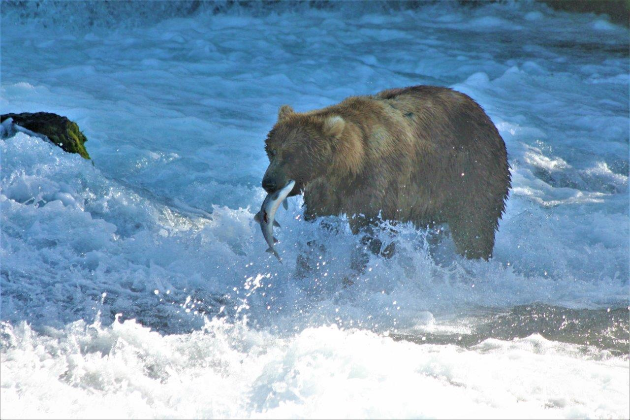 A brown bear snatches a salmon from Brooks Falls.