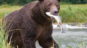 Seasoned Travelers Fulfill Dreams of Seeing Alaska's Fishing Grizzlies