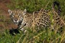 Traveler Story: Tracking Jaguars in the Pantanal