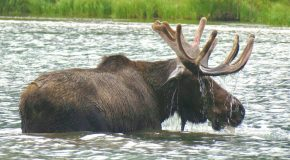 Traveler Story: Encounters with Moose in Glacier National Park