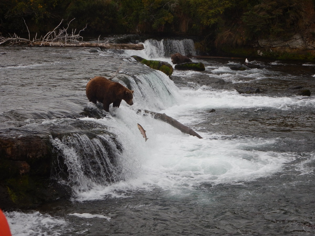 A brown bear snatches a fish from Brooks Falls.