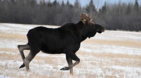 Wildlife Photo of the Week: Wild Moose Chase