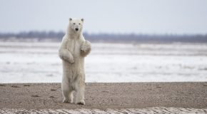 The King of the Arctic in Churchill