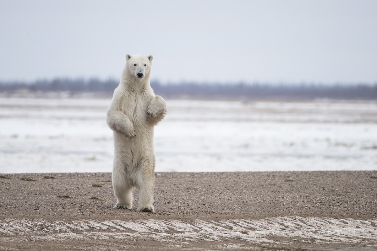 A polar bear stands on his hind legs in Churchill.