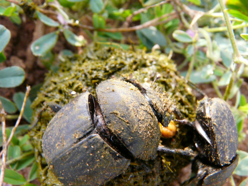 Dung beetle in Africa.