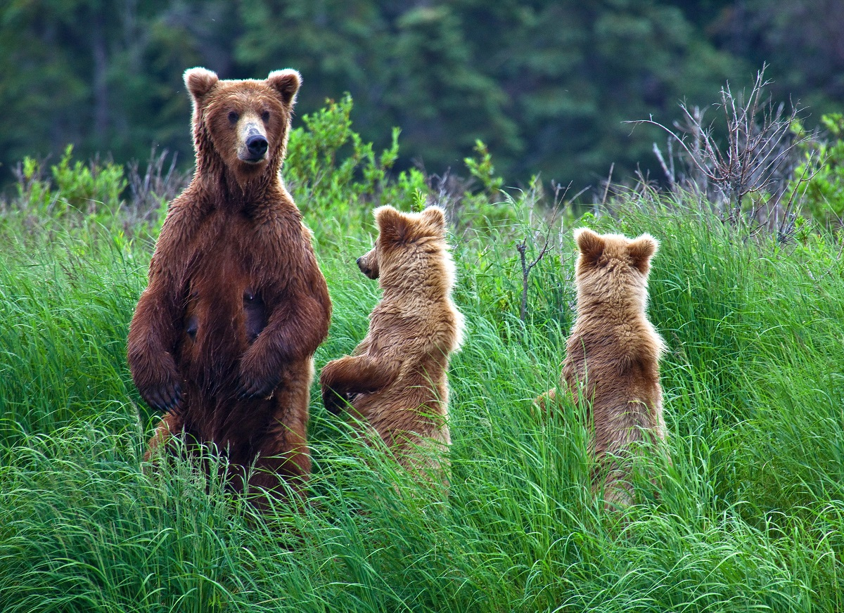 A brown bear with cubs in Alaska.