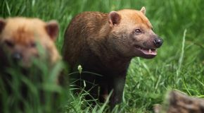 Good News for Wildlife: Rare South American Bush Dogs Spotted in Costa Rica