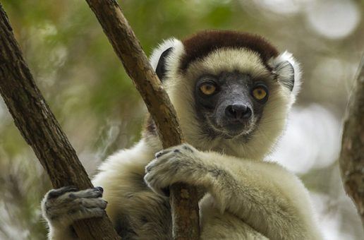 Madagascar's Dwindling Forests and Their Linked Lemurs