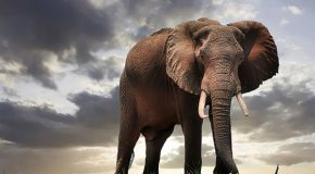 Elephant Poaching in the Pandemic